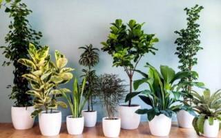 Выбираем цветы для дома, очищающие воздух